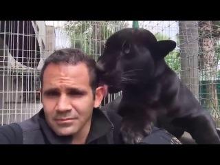Пантера сильного и независимого мужчины Panther of strong and independent man