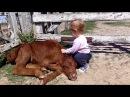 Маленькая девочка обнимает телёнка (корову) Little Girl with Baby Cow