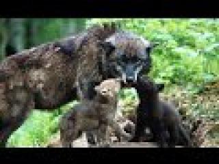 Супер фильм о волках! Волчица Документальные фильмы смотреть