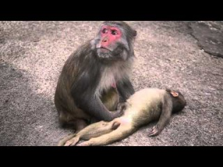 A Mother Monkey and her Dead baby