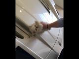 Золотая молодёжь полирует Maserati крохотной собачкой