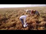 Как работает ковбойский мул