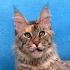 Питомник Silver Lynx Мейн-Кун котята
