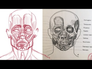 How to Draw the Muscles of the Face