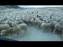 Dünyanın En Büyük Koyun Sürüsü