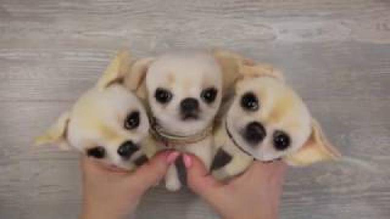 Чихуашка на ладошке Создай себе карманную собачку