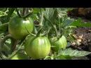 Выращивание помидор. Переопыление томатов.