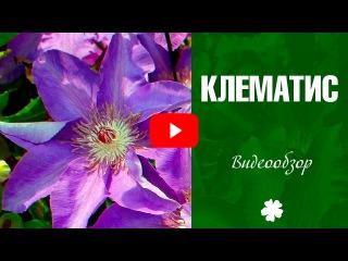 Клематис 🌼 Посадка и выращивание клематиса 🌼Дача сад и огород с Хитсад