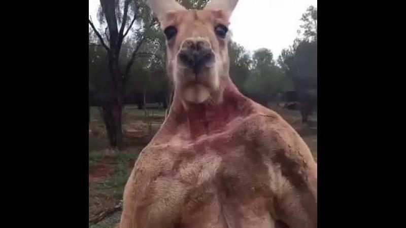 Дерзкий кенгуру демонстрирует свои мышцы