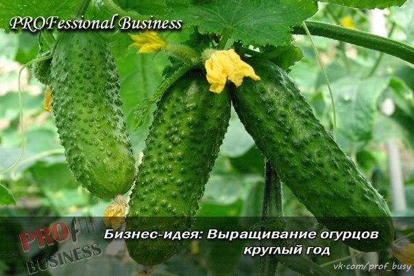 Бизнес идеи выращивание огурцов 99