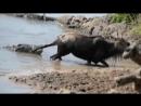 реальная Африка. гну против большого крокодила дикий мир и поведение животных в нем