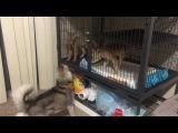 Лисята перед переездом в новую клетку.  Baby Kit Foxes Before the Crate Upgrade
