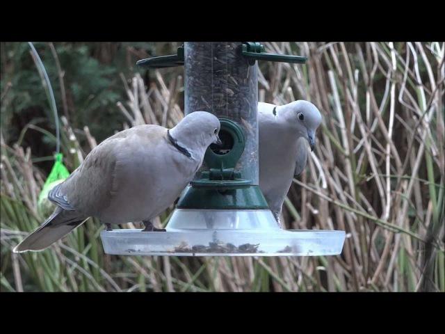 Кольчатая горлица / Collared Dove / Streptopelia decaocto