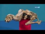 Появилось первое видео находки мумии соболя в Удачном