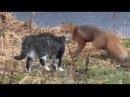 Кот против лисы Cat vs Fox