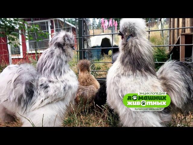 Энциклопедия домашних животных №14 - Китайские шелковые куры