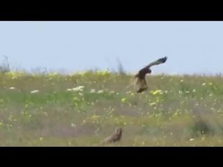 Храбрый заяц пытается добраться до хищной птицы