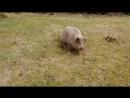 Свинюшки на прогулке