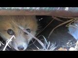 Лисенка подкармливают собачим кормом.  Baby Fox Eating Catfood