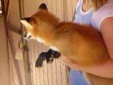 Лисенок смеется.  Baby Fox