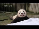 Panda baby's crying voice