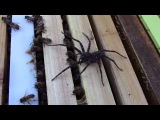 Этот паук решил атаковать пчелиный улей. Зря!