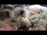 Этого бродячего пса забрали с улицы  Но когда его побрили, все были в шоке
