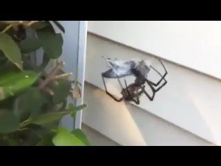Giant Garden Spider vs Giant Horse Fly