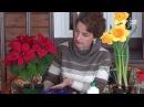 Как сохранить цветы в горшке Нарциссы к 8 Марта