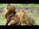 Самое ужасное и жестокое убийство льва. Ужас / Львы жестоко убивают короля прайд
