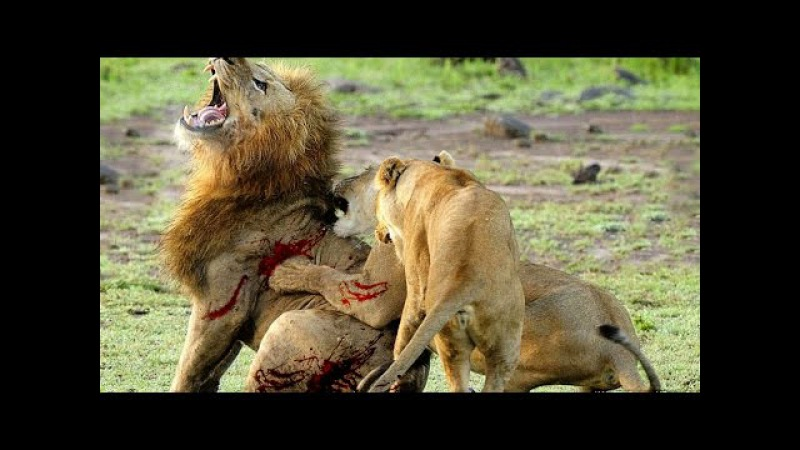 Самое ужасное и жестокое убийство льва. Ужас / Львы жестоко убивают короля прайда - Трогательно
