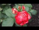 Восхитительные розочки и волшебный аромат цветущего шиповника Rose Aroma Brier