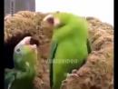 Как танцуют попугаи