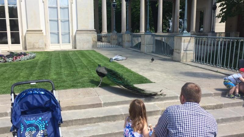 Павлин гоняет голубей в парке Лазенки
