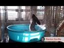 Горилла танцует в бассейне под музыку
