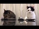 Смотрите, как кошки превращают людей в «собак Павлова»