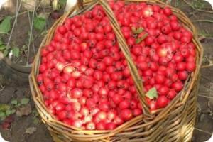 свойства плодов боярышника