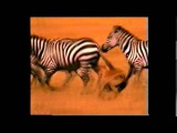 Resellers vs YEEZY BOOST v2 'Zebra'