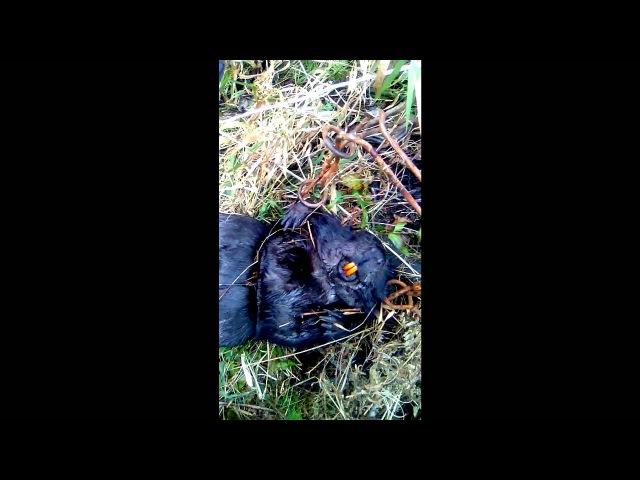 Черный бобр красавец петля кп 250 выдра утопил камеру