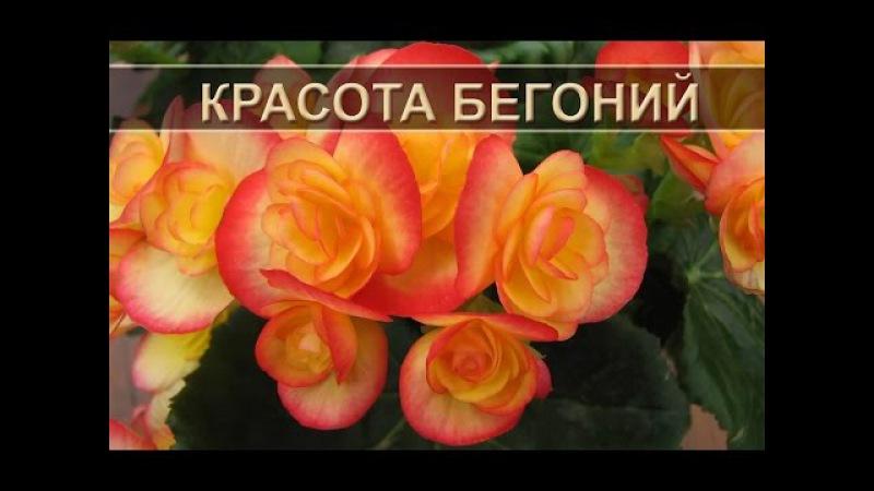 Красота бегонии названия видов Names of varieties of tuberous begonias