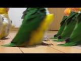 Parrot Sabaton