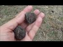 Чёрный Орех Juglans nigra