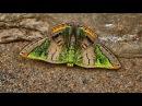 Bolivian Butterflies in 4K part2
