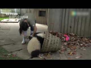 Watch- giant pandas create trouble as staff cleans their house
