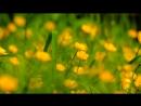 Полевые цветы   природа   релаксация