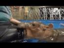 Жестокое нападение бегемота на человека
