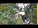 Usually Enemies, Bald Eagles Adopt Red-Tailed Hawk Chick | National Geographic