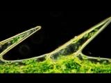 Циклоз в клетках Элодеи (водоросль Водяная Чума). Красивое HD видео через микроскоп.