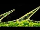 Циклоз в клетках Элодеи водоросль Водяная Чума. Красивое HD видео через микроскоп.