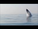 Горбатый кит весом 40-тонн полностью выпрыгивает из воды, словно дельфин. (VHS Video)